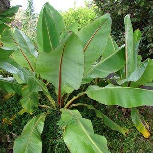 Ethiopian Banana (Ensete ventricosum)