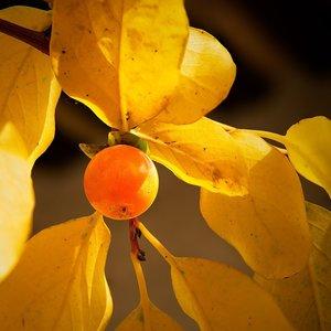 Date Plum (Diospyros lotus)