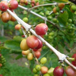 Kona Coffee (Coffea arabica 'Kona')