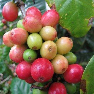 Dwarf Arabica Coffee (Coffea arabica 'nana')
