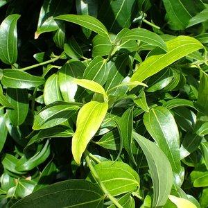 Cinnamon Tree (Cinnamomum zeylanicum)