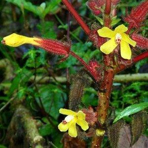 Wercklea (Wercklea ferox)