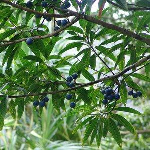 Rudraksha (Elaeocarpus ganitrus)