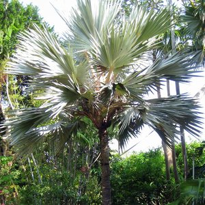 Blue Latan Palm (Latania loddigesii)