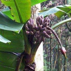 Taiwanese Banana (Musa itinerans var.  formosana)