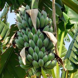 Dwarf Banana (Musa acuminata)
