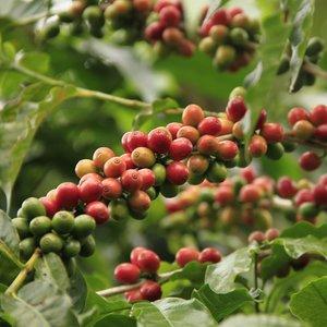 Arabica Coffee (Coffea arabica)