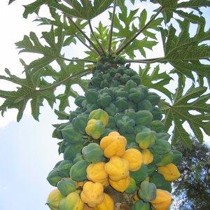 Mountain Papaya (Carica pubescens)