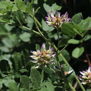 Chinese Liquorice (Glycyrrhiza uralensis)