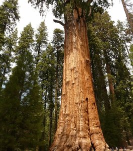 Giant Redwood (Sequoiadendron giganteum)