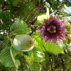 Giant Granadilla (Passiflora quadrangularis)