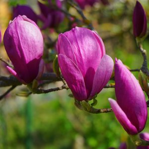 Purple Magnolia (Magnolia liliiflora)