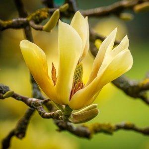 Cucumber Magnolia (Magnolia acuminata)