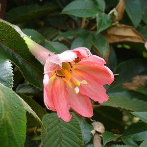 Bananadilla (Passiflora mollissima)