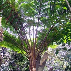 Norfolk Tree Fern (Cyathea brownii)