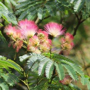 Persian Silk Tree (Albizia julibrissin 'E.H. Wilson')