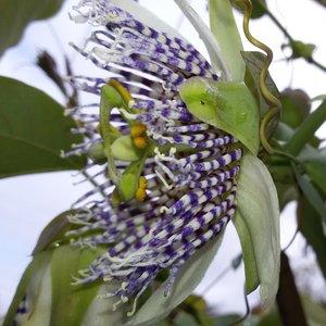 Passionflower (Passiflora actinia)