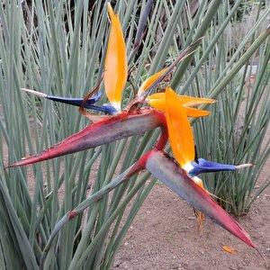 Narrow-leaved Bird of Paradise Flower (Strelitzia juncea)