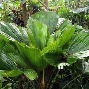 Ruffled Fan Palm (Licuala grandis)