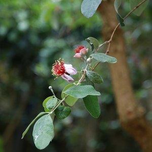 Feijoa (Feijoa sellowiana)