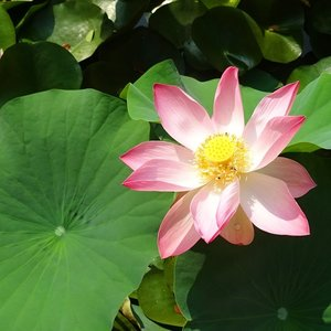 Indian Lotus (Nelumbo nucifera)