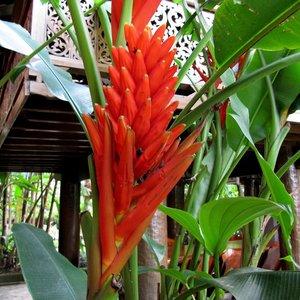 Scarlet Banana (Musa coccinea)