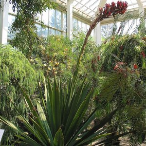 Giant Spear Lily (Doryanthes palmeri)