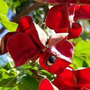 Black Pearl Tree (Majidea zanguebarica)