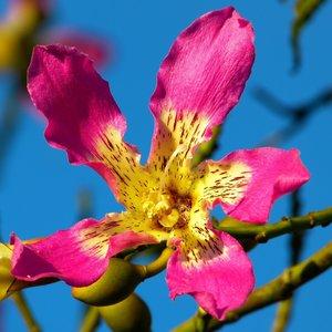 Silk Floss Tree (Ceiba speciosa)