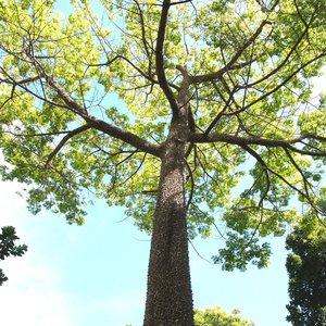 Kapok Tree (Ceiba pentandra)