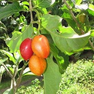 Peanut Butter Tree (Bunchosia argentea)