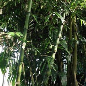 Buddha's Belly Bamboo (Bambusa ventricosa)