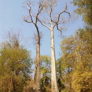 Madagascar Baobab (Adansonia madagascariensis)