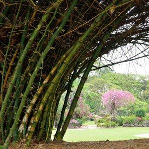 Indian Thorny Bamboo (Bambusa bambos)