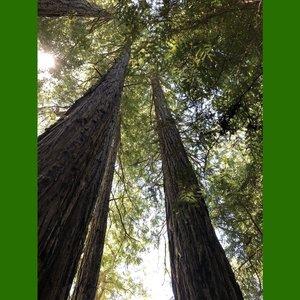 Coastal Redwood (Sequoia sempervirens)