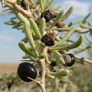 Black Gojiberry (Lycium ruthenicum)